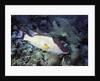 Hogfish by Corbis