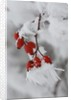Frost on a twig of dog rose by Corbis