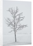 A solitary tree covered with frost in Hungary by Corbis