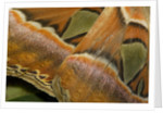 Details of the wings of Atlas moth, which is the largest moth in the world by Corbis