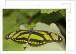 A tropical butterfly perching on a leaf by Corbis