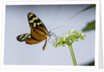 A tropical butterfly sucking nectar from a white flower by Corbis
