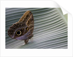 A tropical butterfly laying eggs on a banana leaf. by Corbis