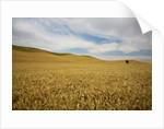Lone Tree in Harvest Wheat Field by Corbis