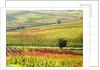 Autumn Vinyards in full color near Montepulciano by Corbis