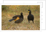Bare-faced Curassow Mating Pair by Corbis