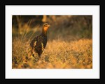 Chestnut-bellied Guan Foraging in Grass by Corbis