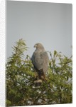 Crane Hawk in Treetop by Corbis