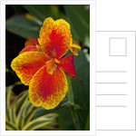 Close up view of yellow-edged red canna lily blossom in garden setting by Corbis