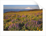 Lupine & balsamroot with Mt. Hood by Corbis