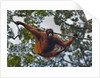 An orangutan (Pongo pygmaeus) at the Sepilok Orangutan Rehabilitation Center by Corbis