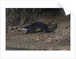 Hairy-nosed otter (Lutra sumatrana) by Corbis