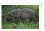 A Bornean bearded pig (Sus barbatus) by Corbis