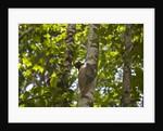 Colugo or Flying Lemur (Galeopterus variegatus) on a tree by Corbis