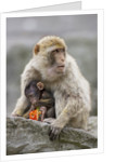 A Barbary Macaque baby feeding in the arms of the mother by Corbis
