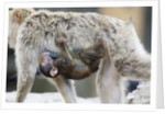 A barbary macaque baby sucking milk by hanging on the walking mother by Corbis