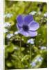Violet Anemone Flowers Longwood Garden Spring by Corbis