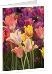 Tulip flowers in red and yellow by Corbis