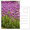 Bed of Purple Tulip flowers by Corbis