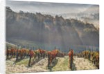 Autumn Vineyards with Bright Color and Foggy Morning by Corbis