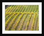 Autumn Vineyards Rows with Bright Color by Corbis
