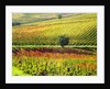 Autumn Vineyards in full color near Montepulciano by Corbis