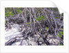 Tangle of mangrove root by Corbis