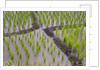 Patterns and shapes of paddy rice field by Corbis
