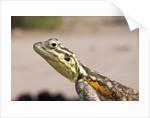 Female Common Agama head (Agama agama) by Corbis