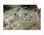 Reticulated Round Ray (Urobatis concentricus) by Corbis