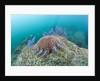 Crown-of-Thorns Starfish (Acanthaster planci) by Corbis