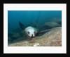 Californian Sea Lion (Zalophus californianus) by Corbis