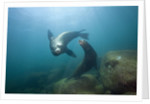 Californian Sea Lion (Zalophus californianus) by Corbis