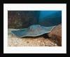Diamond Stingray (Dasyatis brevis) by Corbis