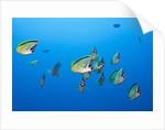Barberfish school (Johnrandallia nigrirostris) by Corbis