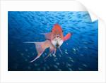 Mexican Hogfish (Bodianus diplotaenia) by Corbis