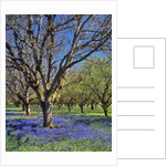 Grape hyacinth flowers in orchard by Corbis