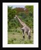 Southern giraffe, Chobe National Park by Corbis
