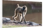 Chacma baboon, Chobe National Park by Corbis