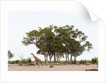 Southern giraffe, Savuti Marsh by Corbis