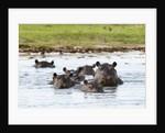 Hippopotamus, Okavango Delta by Corbis