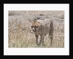 Cheetah, Masai Mara by Corbis