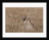 Cheetah, Masai Mara by Corbis