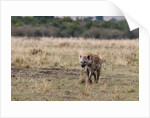 Spotted hyaena by Corbis