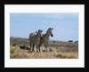 Plains zebras by Corbis