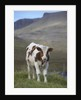 Young Calf graazing. by Corbis