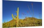 Saguaro and Ocotillo by Corbis