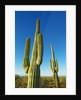Saguaro by Corbis