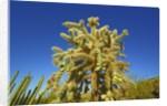 Cholla cactus by Corbis