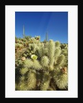 Cholla cactus in bloom by Corbis